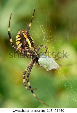 Spider argiope bruennichi, eats its prey. Macro. - stock photo