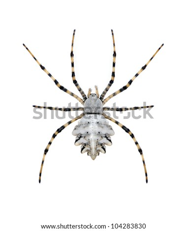 Spider Argiope lobata on a white background