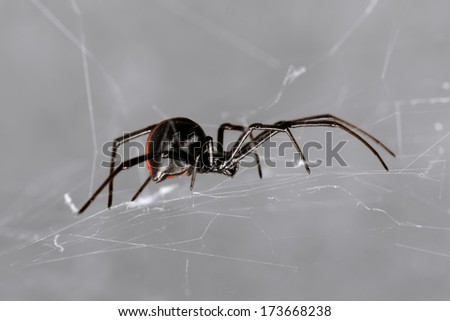 Spider, Australian Red-back, Lacrodectus Hasselti, female spider at rest on web  - stock photo