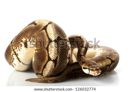 Spider Ball Python (Python regius) isolated on white background. - stock photo