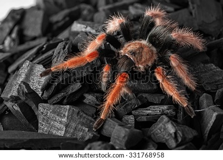 Spider Brachypelma boehmei on coal closeup - stock photo
