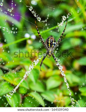 Spider crawling on a web with droplets of dew.  - stock photo
