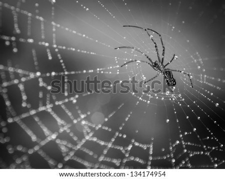 Spider crawling on a web with droplets of dew.  Black and white finish. - stock photo