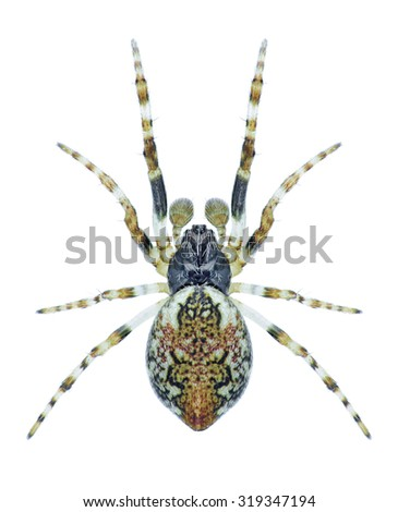 Spider Cyclosa conica (male) on a white background - stock photo