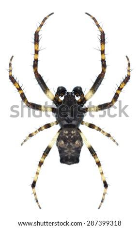 Spider Cyclosa oculata (male) on a white background - stock photo