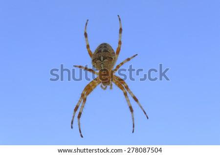 spider Epeira - stock photo