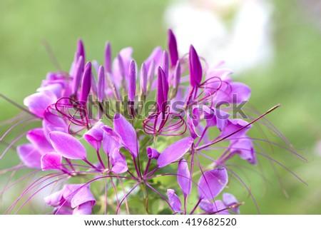 Spider flower (Cleome hassleriana) - stock photo