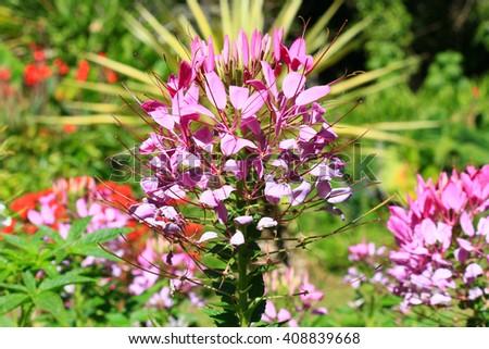 Spider flower(Cleome hassleriana) in the garden  - stock photo