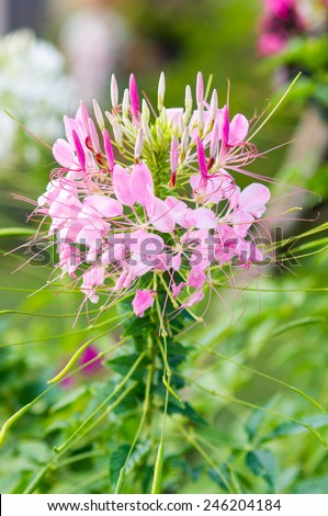 Spider flower(Cleome hassleriana) in the garden for background use. - stock photo