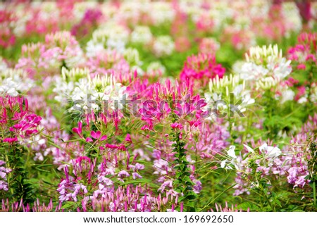 Spider flower in botanical garden - stock photo