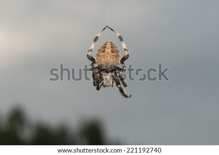 spider hanging from silken thread of web - stock photo