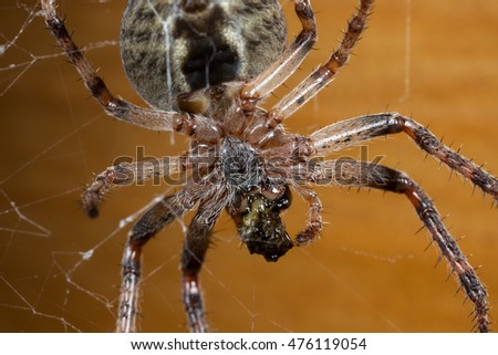 Spider. Macro nature. Close up of garden spider on natural black background.