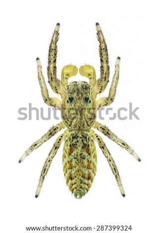 Spider Marpissa radiata (male) on a white background - stock photo