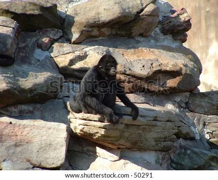 spider monkey - stock photo