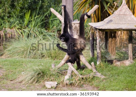 Spider monkey hanging from his arm and tail - stock photo