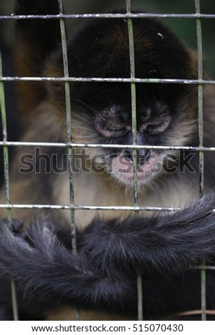 spider monkey in cage