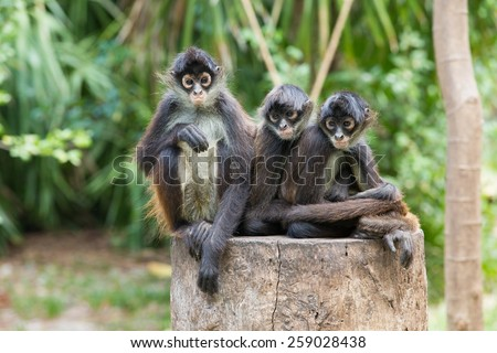 Spider monkey on a tree - stock photo