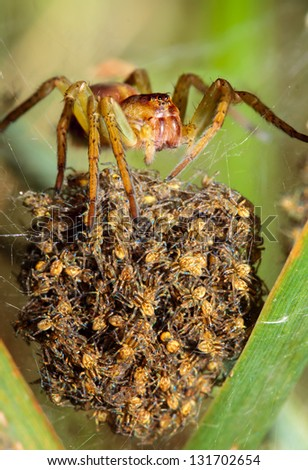 Spider mother - stock photo
