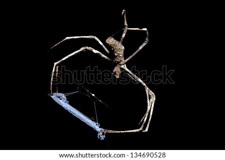 Spider, Ogre faced or Net-casting, Deinopis Ravidus, body length 25mm - stock photo