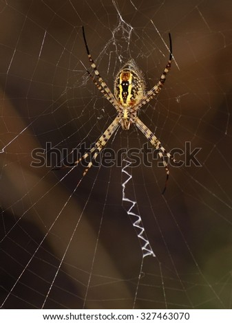 Spider on its network, argiope - stock photo
