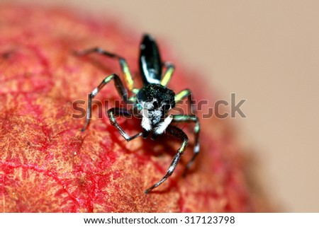 Spider on litchi