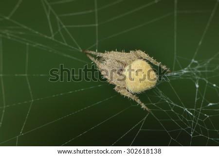 Spider on spider web - stock photo