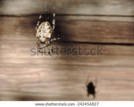 Spider on the background of wooden wall