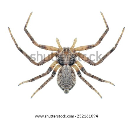 Spider Philodromus aureolus (female) on a white background - stock photo