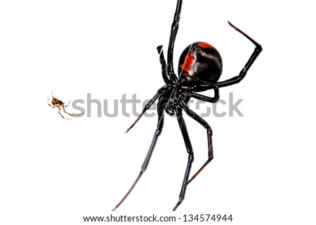 Spider, Red-back, Lacrodectus Hasselti, male and female relative sizes - stock photo