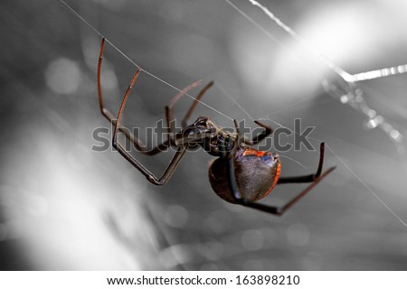 Spider, Redback or Black Widow at rest in chaotic web - stock photo