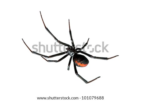 Spider, Redback or Black Widow, Latrodectus hasselti, isolated on white - stock photo