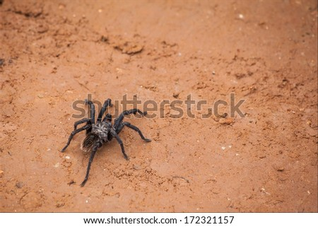 Spider walking at dirt road