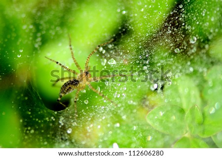 Spider, web and drops of dew in the morning. - stock photo
