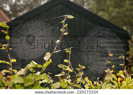 Spider webs with morning dew on beech trees. - stock photo