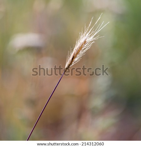 Spike grass in nature