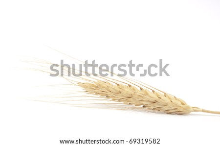 spikelet of wheat on a white background
