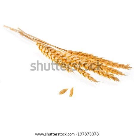 Spikelets and Grains of Wheat ears isolated on a White Background