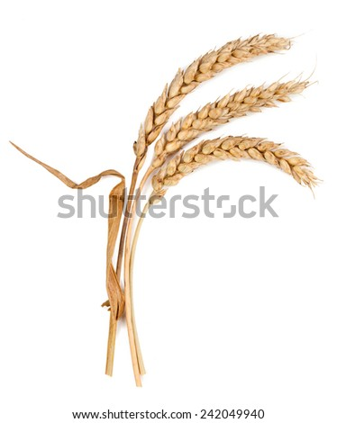 spikelets isolated on white background - stock photo