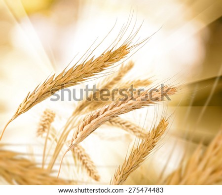 spikelets of wheat against the sun