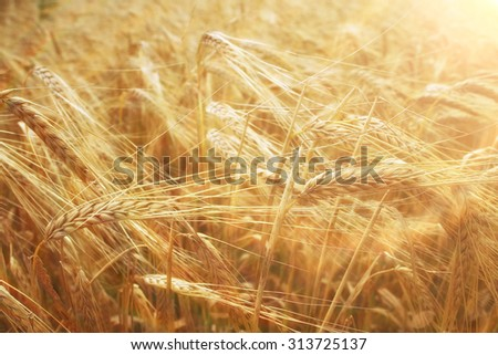 spikelets of wheat in a field texture agriculture