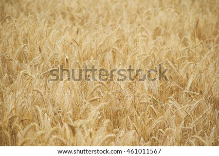 spikelets of wheat in the summer close-up