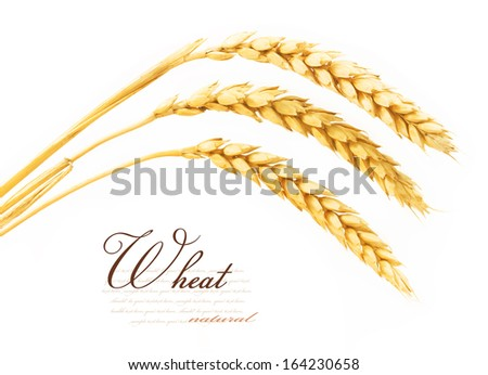 Spikelets of wheat. isolated on white background