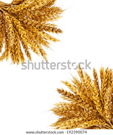 Spikelets of wheat on isolated on white background  - stock photo