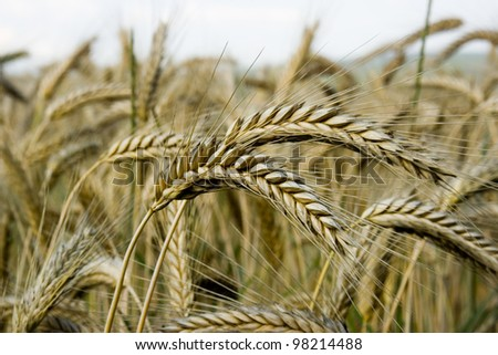 Spikes in a cornfield - stock photo