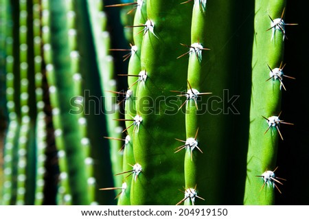 Spikes of a green San Pedro Cactus - stock photo
