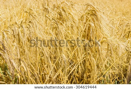 Spikes of ripe barley in the field closeup
