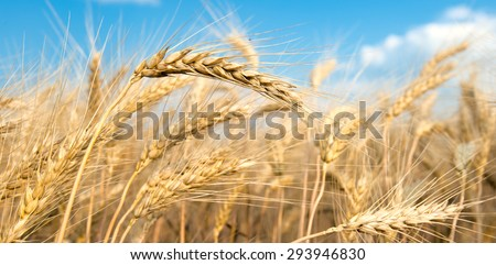 Spikes of ripe wheat on a farmers field. - stock photo