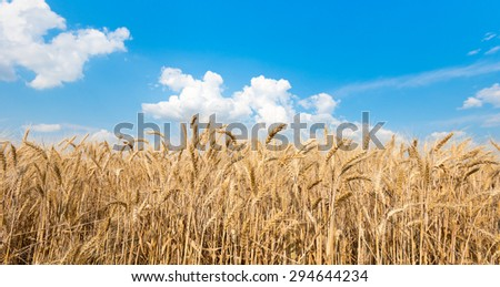 Spikes of ripe wheat on a farmers field. series of photos. - stock photo