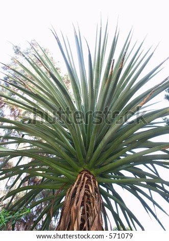Spikey Palm Tree shot from below.  Or this may be an Aloe tree