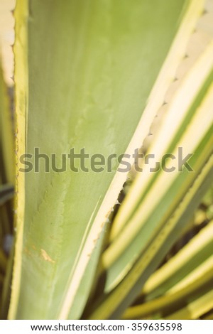 Spiky leaves thorn bush cactus, green part closeup background